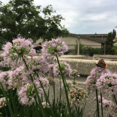 Monarch butterfly rests on a nodding onion plant in the lecture center plaza