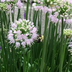 bee resting on nodding onion plant