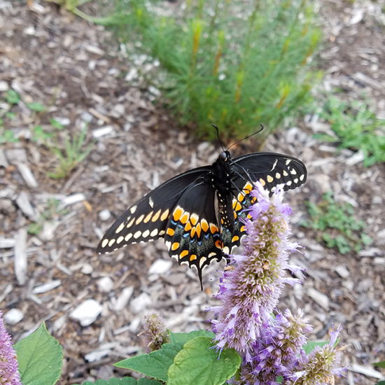 butterfly on native plant in the prairie garden