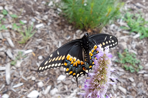 butterfly resting on a native plant in the UIC Little Prairie on the Campus garden