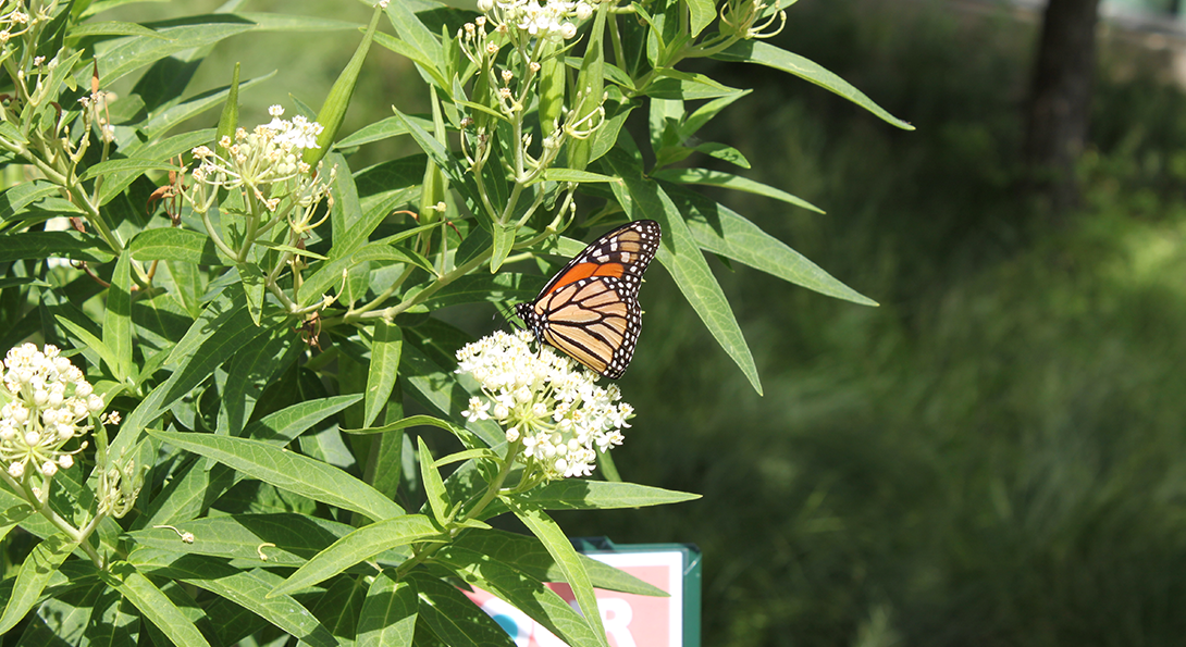 Monarch butterfly visits a milkweed plant in the Heritage Garden.