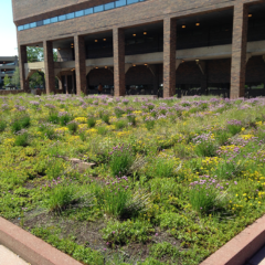 Green roof on the ETMSW plaza area with native grasses and purple flowers