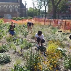 volunteers pull weeds