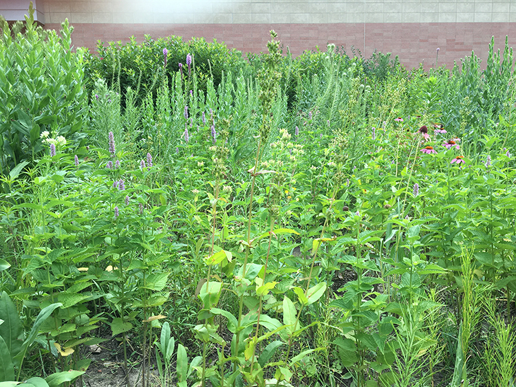 Aggressive Anise Hyssop plants dominate over other tall grasses