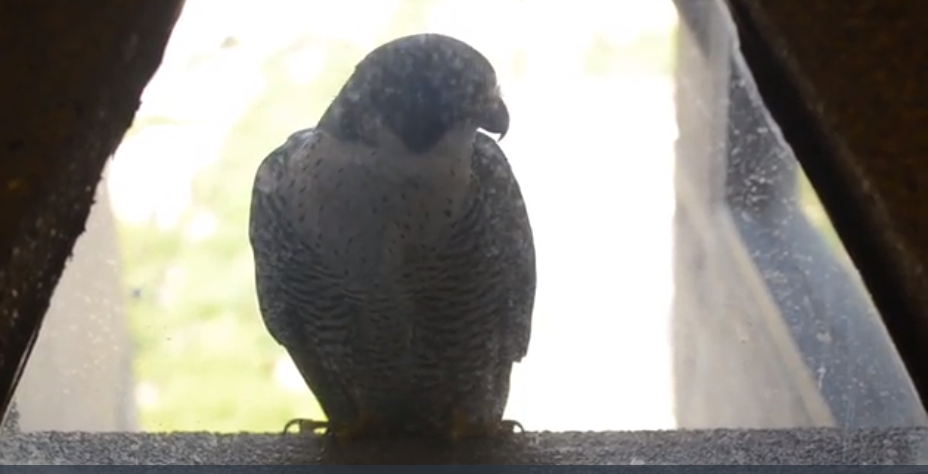 peregrine falcon  outside of UH window