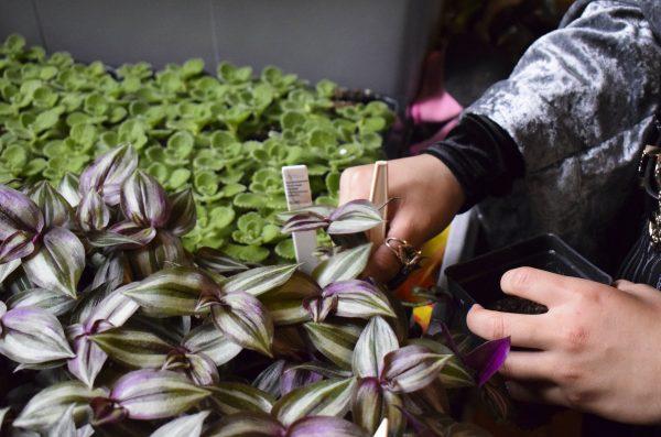 students picking plants at teh UIC Plant Resaerch Laboratory