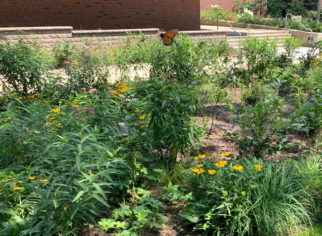 a monarch butterfly visits native plants in Arthington mall