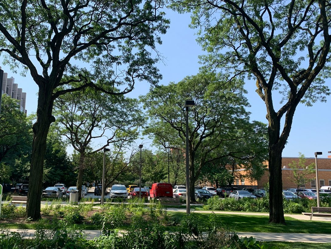 two towering honey locust trees line a walkway in the middle of Arthington Mall